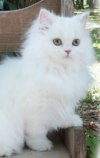 White Cat Cats Cute Cats Cats Kittens