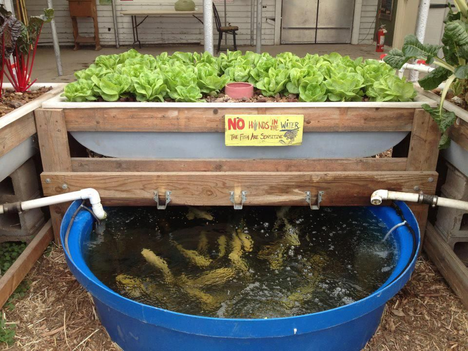 Aquaponics fish learn more tips at for Fish tank hydroponic garden