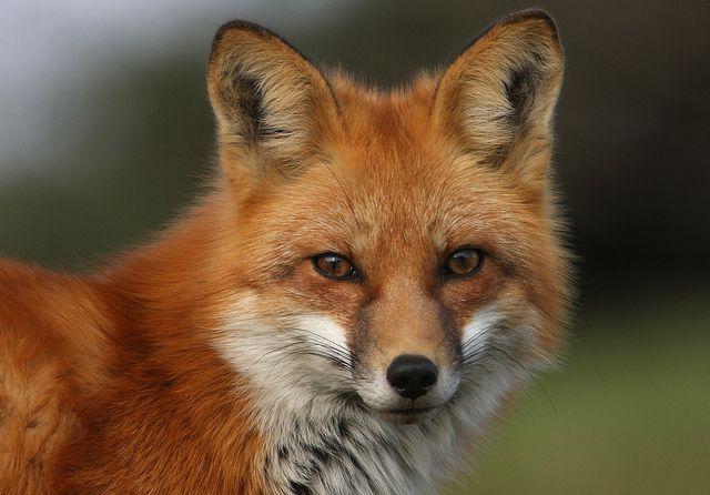 red fox adorable animals pinterest fuchs tiere und vorlagen. Black Bedroom Furniture Sets. Home Design Ideas