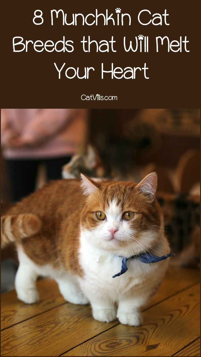 8 Insanely Adorable Munchkin Cat Breeds ( How to Care for Them) #catbreeds