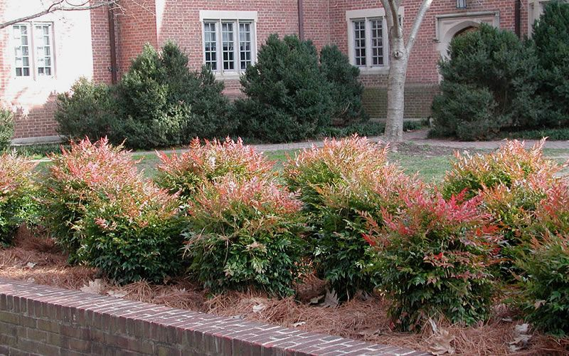 Gulf Stream Nandina Plants Shrubs Dwarf Plants