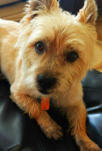 Mickey the cairn terrier | Cairn terrier, Happy dogs, Cute ...