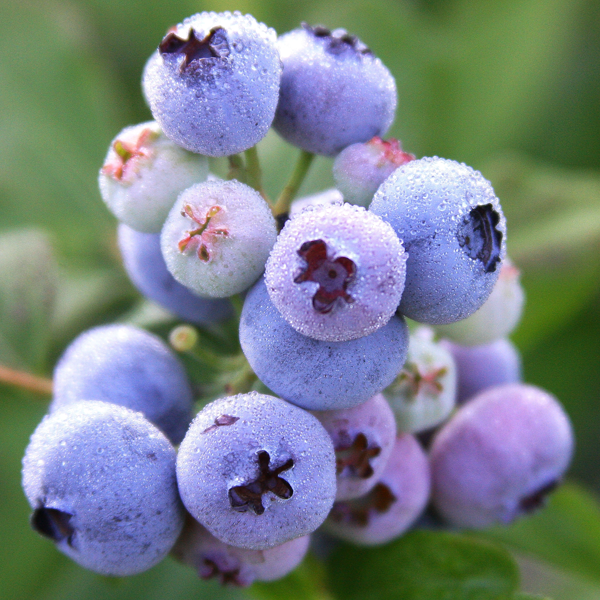 Growing Blueberries in Containers | Organic Gardening Blog