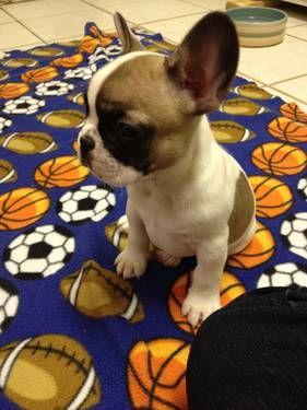 Akc French Bulldog Puppies Cute French Bulldog Frenchie Bulldog Bulldog
