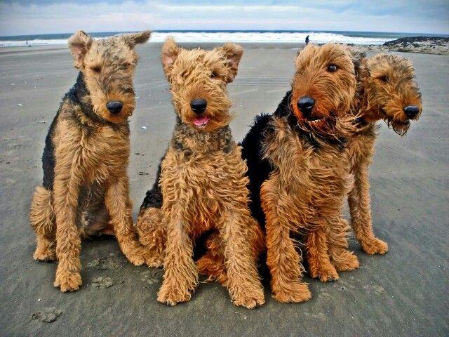 Airedale Beach Terrier Airedale Perros Gatos