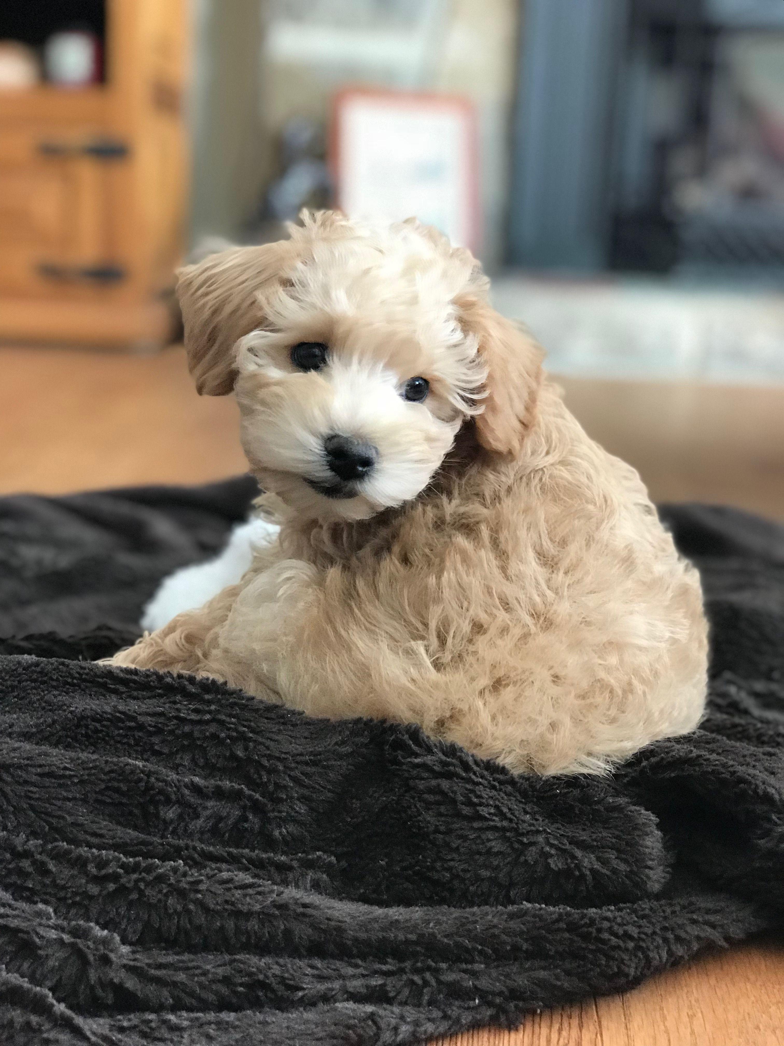 Virginia aka Ginny schnoodle puppy schnoodlepuppy