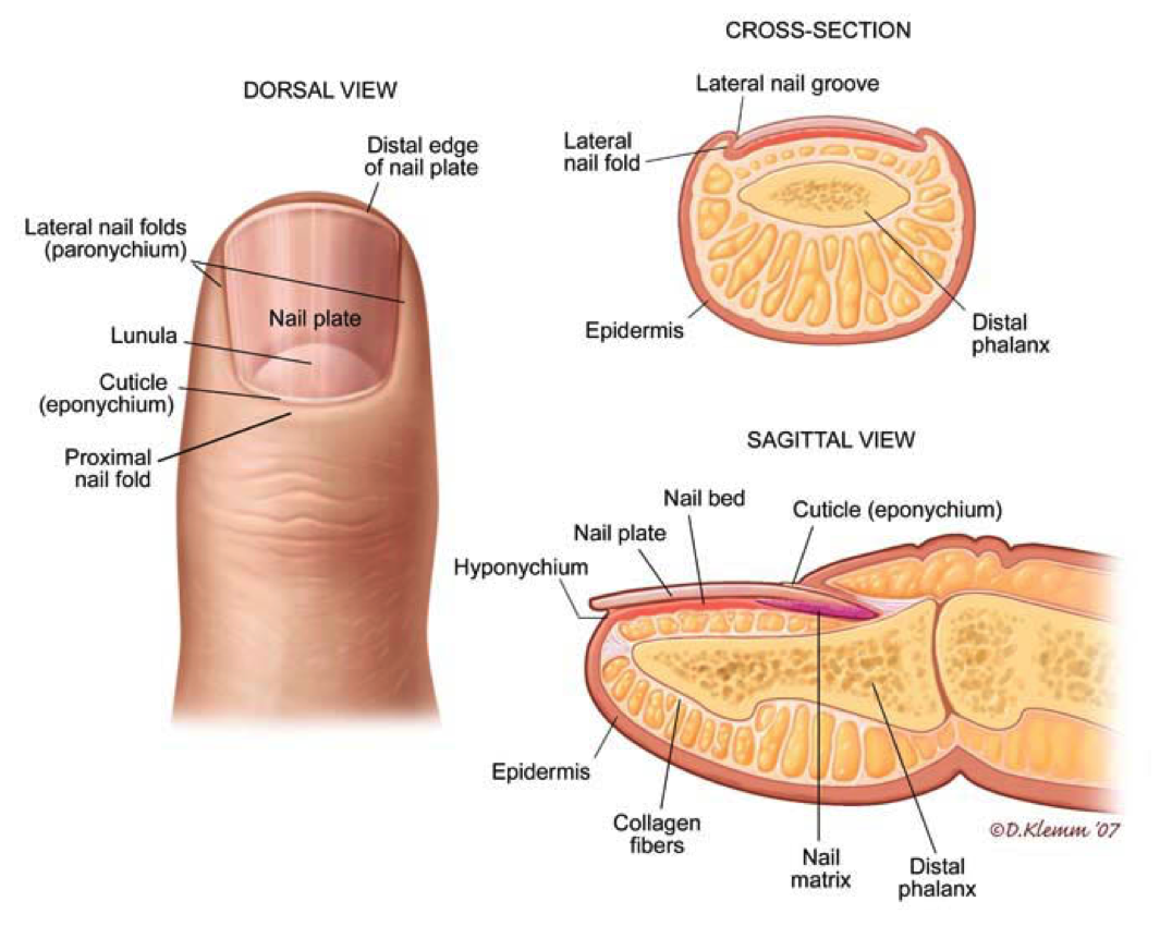 Image result for dermatology anatomy | Apple Cider Vinegar for Warts ...