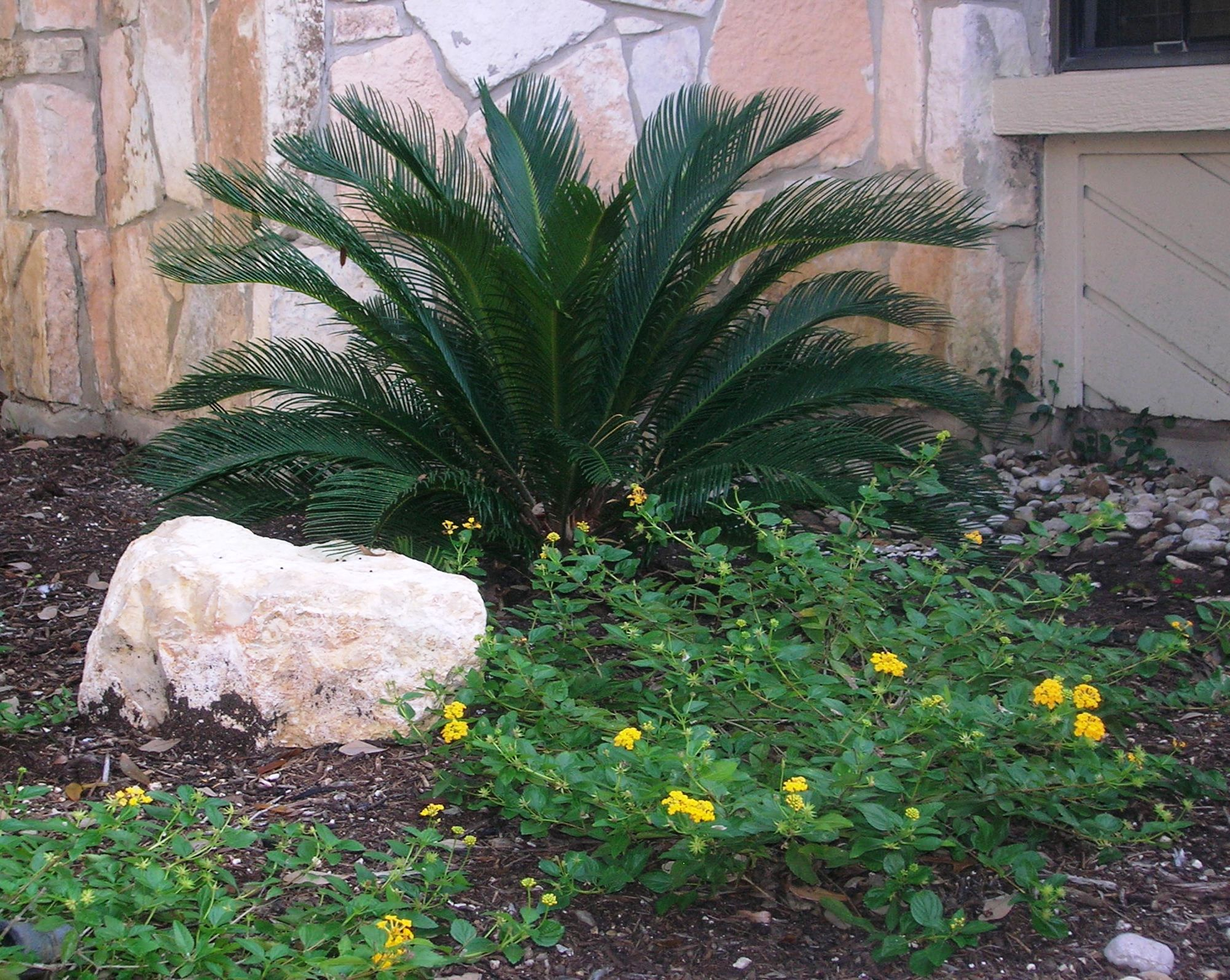 sago palm yellow lantana just coming out sago palmlandscaping ideasbackyard ideasgarden ideastropical