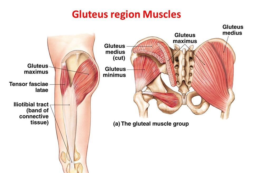Gluteal Muscles:Attachment,Nerve Supply & Action | Anatomy ...