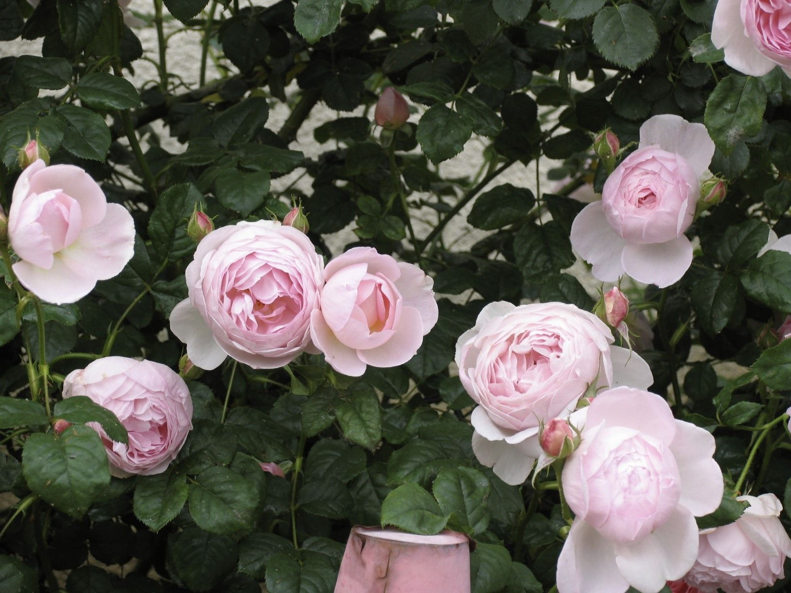 David austin english rose scepter d isle english roses