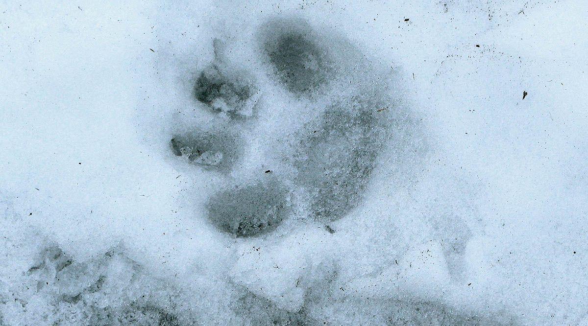 днем следы рыси на снегу фото греко-римской борьбе запрещены