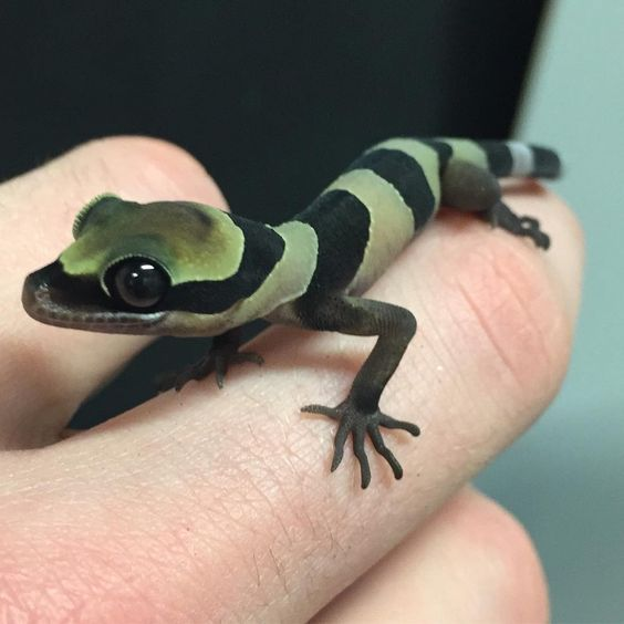 The Baby Forest Gecko Is Doing So Well!