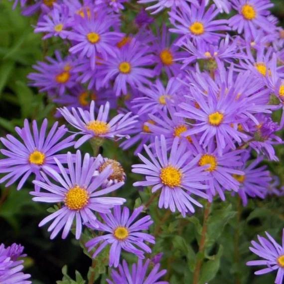 Aster Woods Purple In 2020 Aster Flower Plants Cool Plants