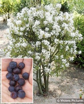 Amelanchier ballerina juneberry a more compact large shrub or a ballerina juneberry a more compact large shrub or a small tree produces numerous white scented flowers followed by berries in earl pinteres mightylinksfo