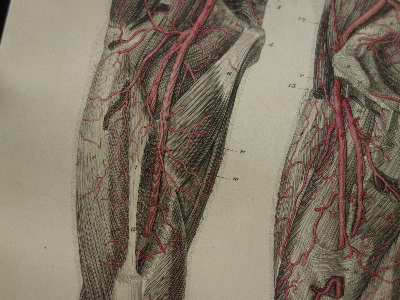 150 Years Old Anatomical Engraving Of Leg Foot Veins Beautiful