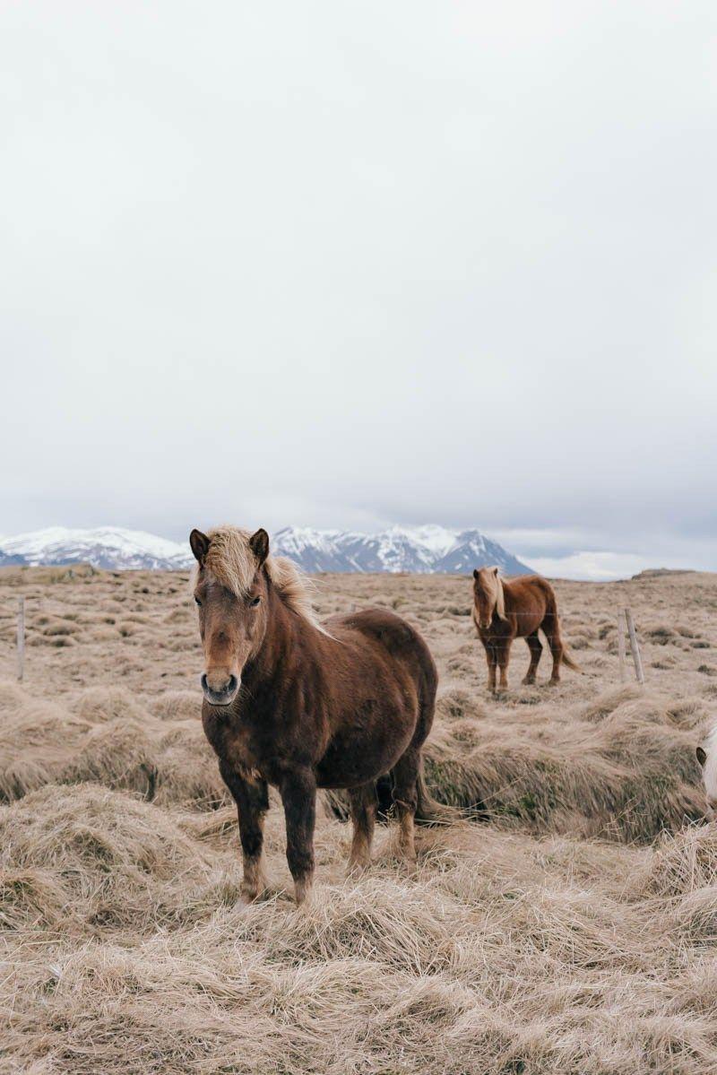 DariadariaGuideToIceland-45,  hoffentlich sehen wir auch so schöne Pferde.