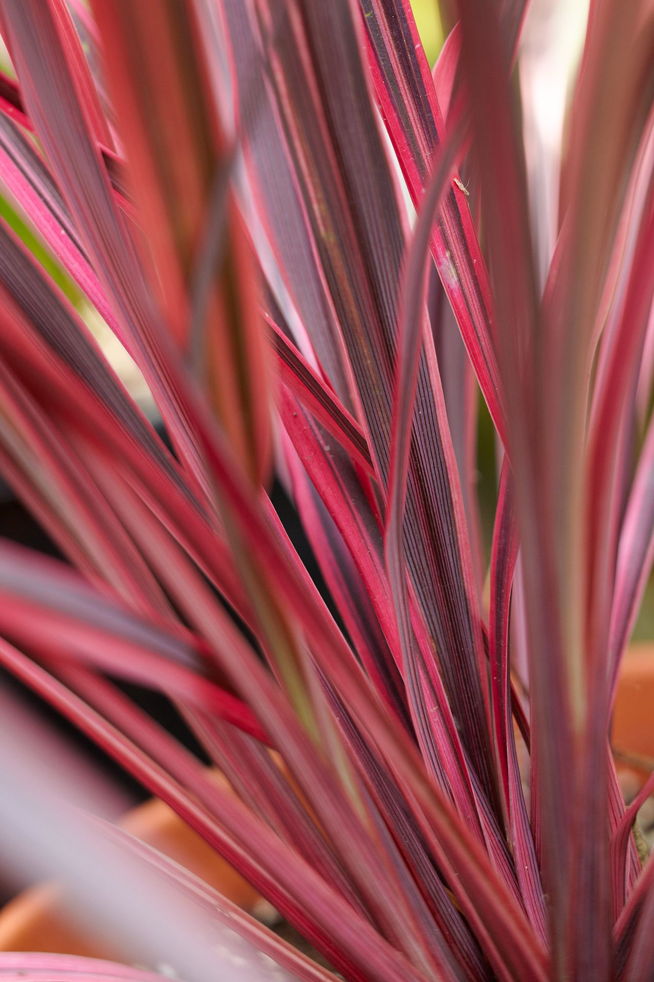15 Stunning Plants That Are Naturally Pink In 2020 Plants Pink Plant Zebra Plant