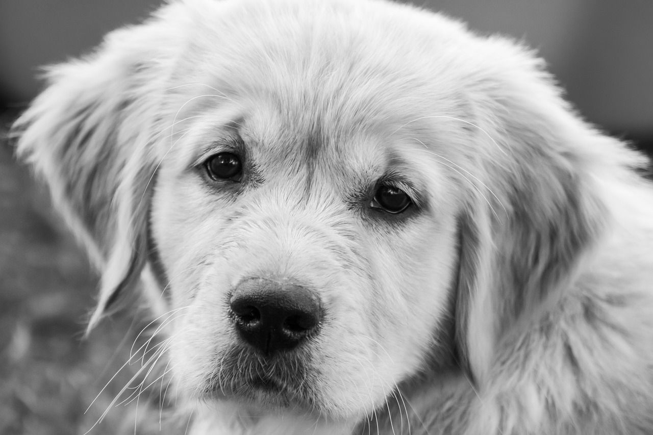 Dog Puppy Young Small Puppy Young Small Dog In 2020 Golden Retriever Retriever Puppy Miniature Puppies