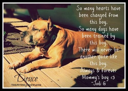 So many hearts have been changed from this boy, so many dogs have been trained by this boy, there will never be another quite like this boy. Always and forever Mommy's boy ~Jodi G  www.thepitbullcrew.com  www.facebook.com/THEPITBULLCREWDOGRESCUE  Also please follow my other blog,  'MOMMA' THE ITTY BITTY PIGGY PIT BULL http://mommathepiggypitbull.tumblr.com/