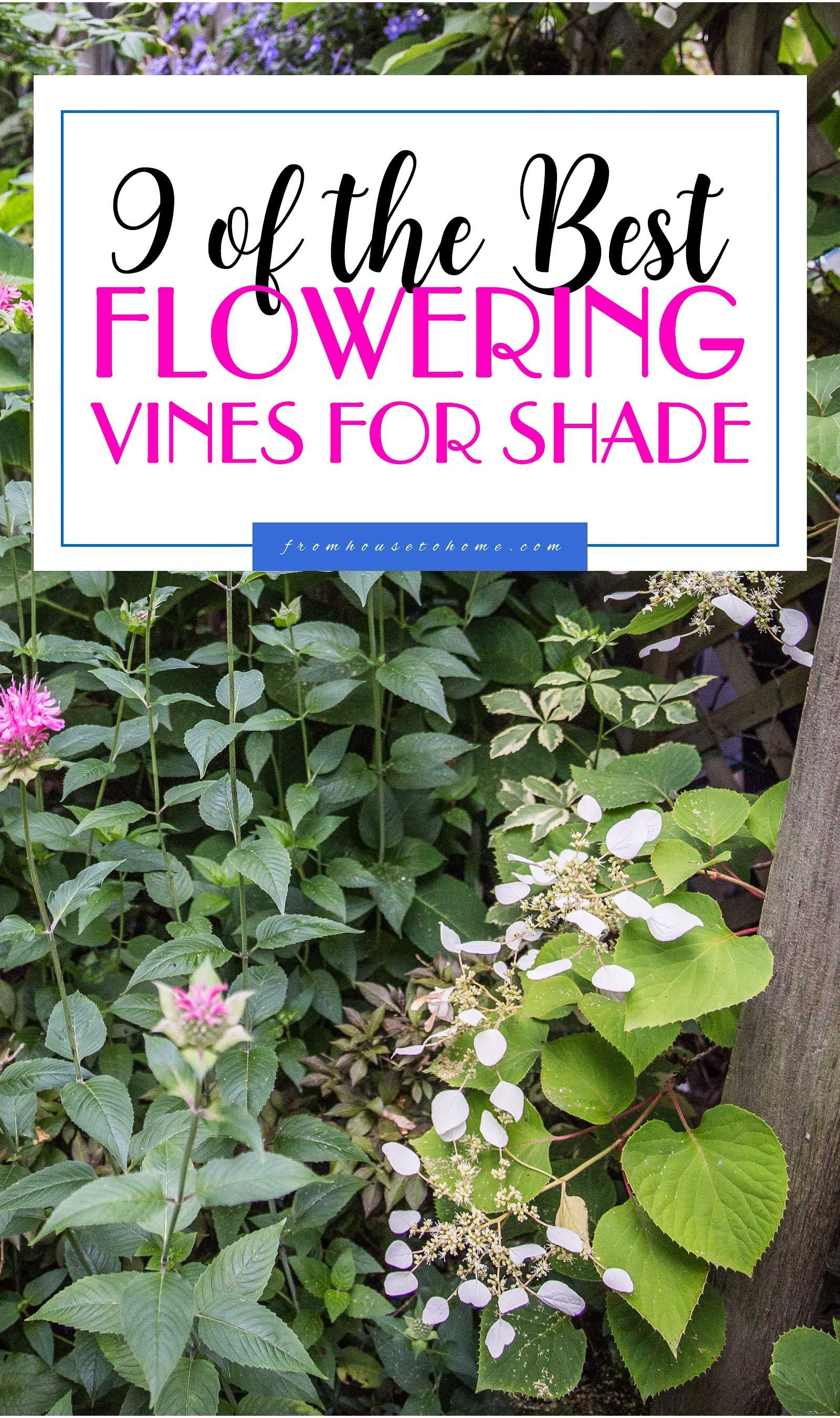 This List Of Flowering Vines For The Shade Is The Best I Love That These Are All Perennial And Non Invasive Plan Flowering Vines Shade Perennials Garden Vines