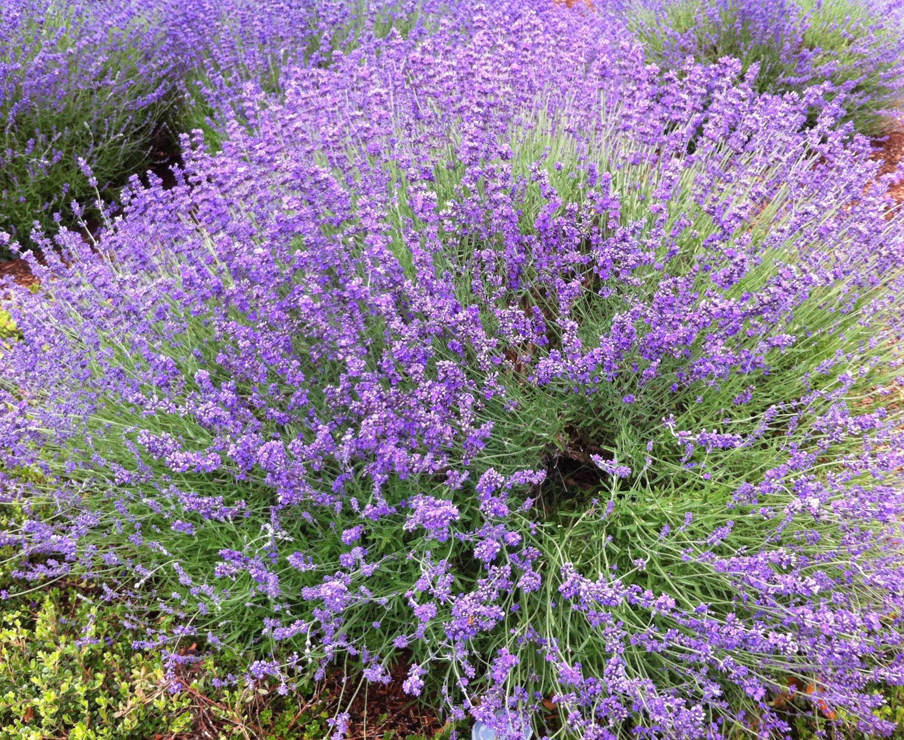 Landscaping With Lavender Plants : Garden flowers trees gardens the o jays and need to