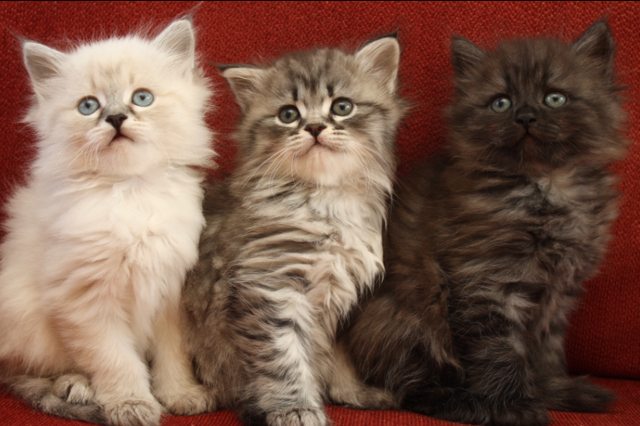 My Beautiful Siberian Kittens Akila Siberians And Simply Divine Siberians Upstate New York Kittens Cutest Animals Cats And Kittens