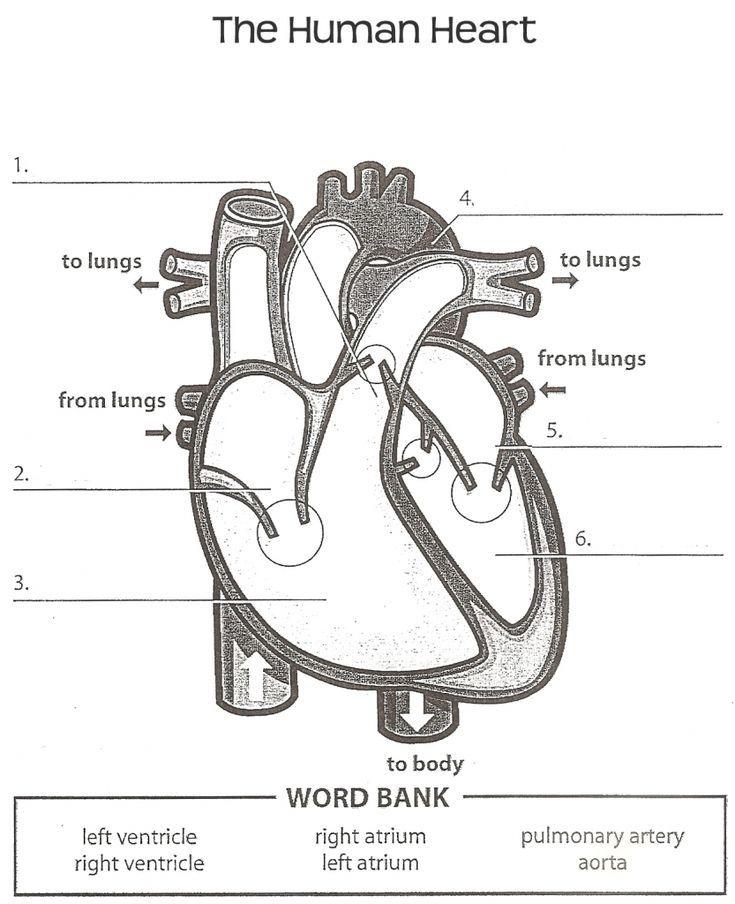 Human Anatomy Labeling Worksheets Tag Heart Anatomy Labeling
