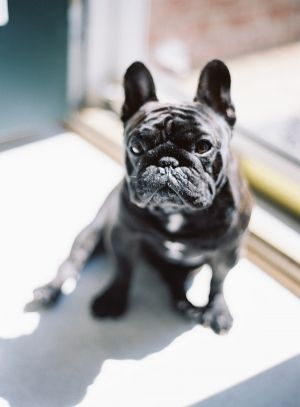 Classic Virginia Campus Wedding French Bulldog Black Pug