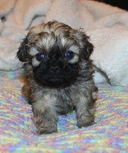 Available Puppies Puppies Baby Animals Cute Animals