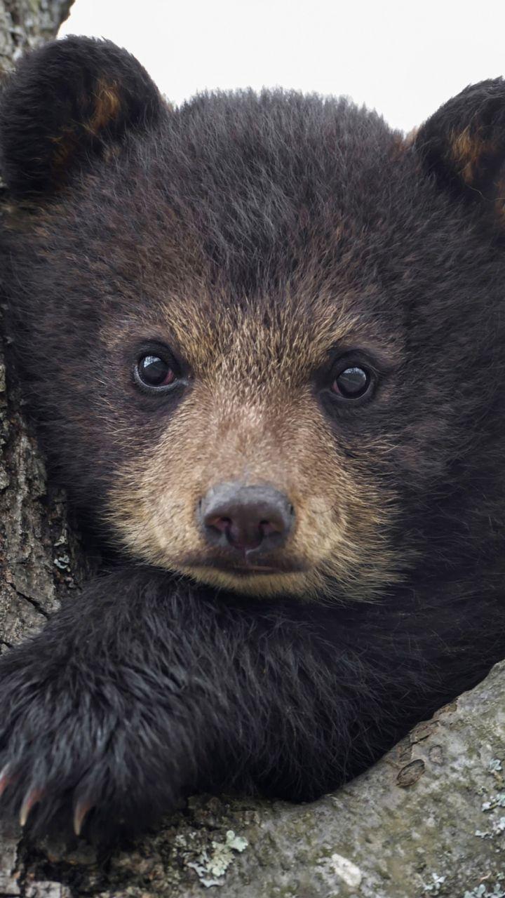 Скачать 720x1280 Медведь, детеныш, взгляд, морда обои ...