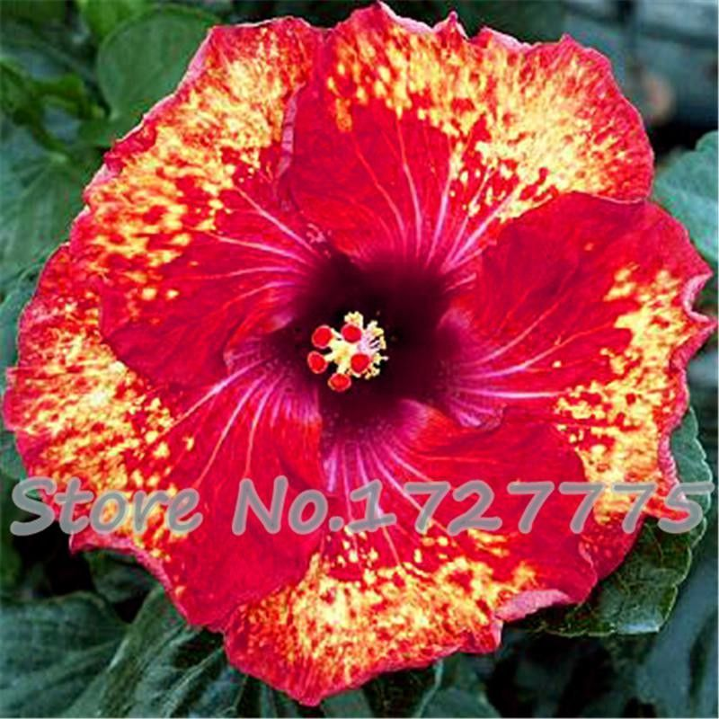 Outdoor Flowers For Sale Part - 22: On Sale!!! 200pcs Hibiscus Seeds 24kinds HIBISCUS ROSA-SINENSIS Flower  Seeds Hibiscus