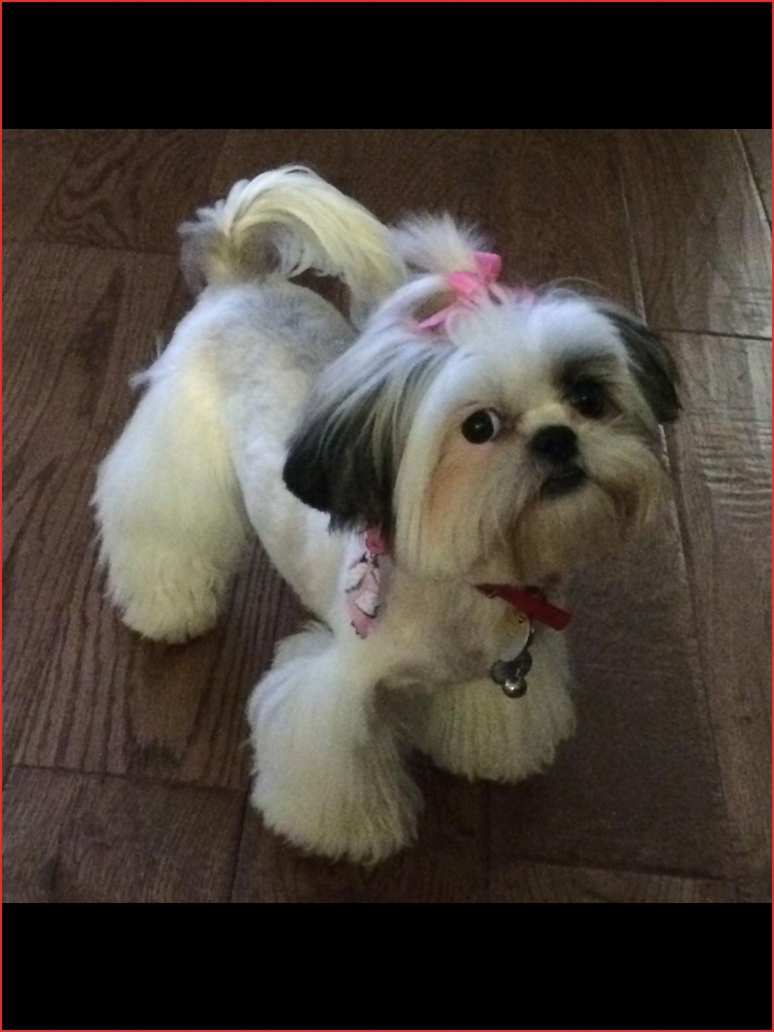 Elegant Shih Tzu Puppy Haircut Stock Of Hairstyle Ideas 45317