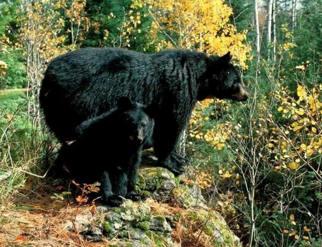 Pin by bernadette garcia on bears black bear black