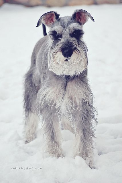 Pin By Danielle On Ode To Miniature Schnauzers Schnauzer Dogs Beautiful Dogs Cute Dogs
