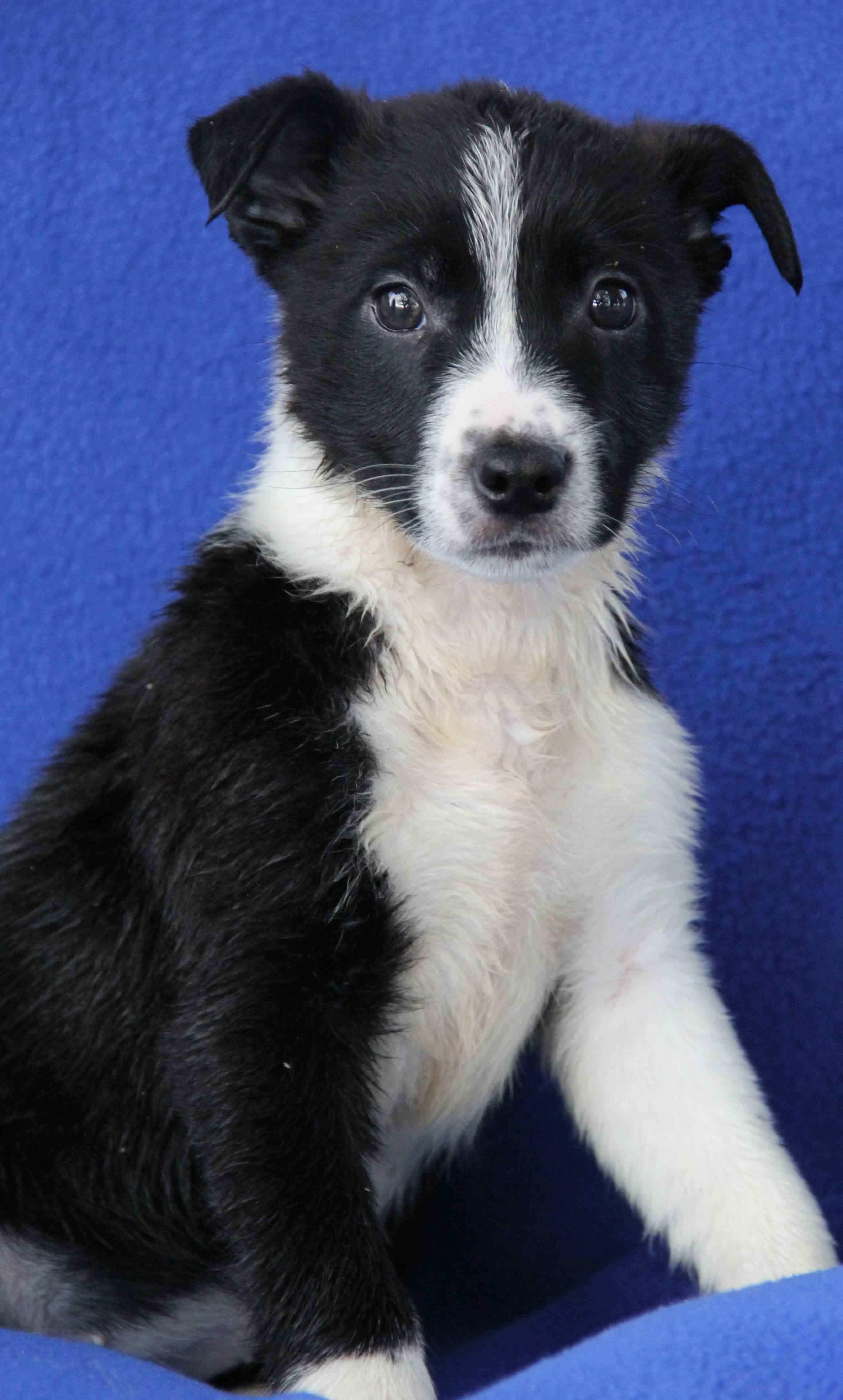 2018 01 05 Astoria Is An Adoptable Dog Border Collie