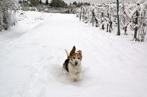 Beagle Playing In Snow Wdaz Grand Forks Nd Snow Dogs Pet
