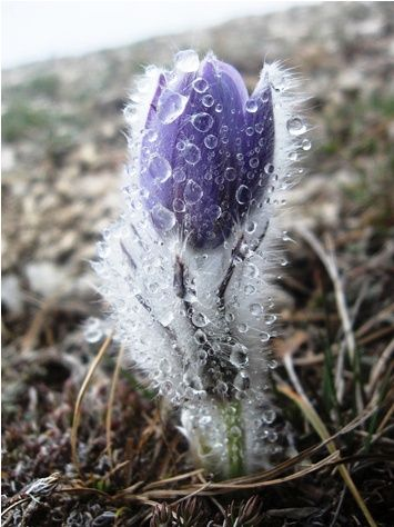 Imbolc: Early Spring flower covered with ice.