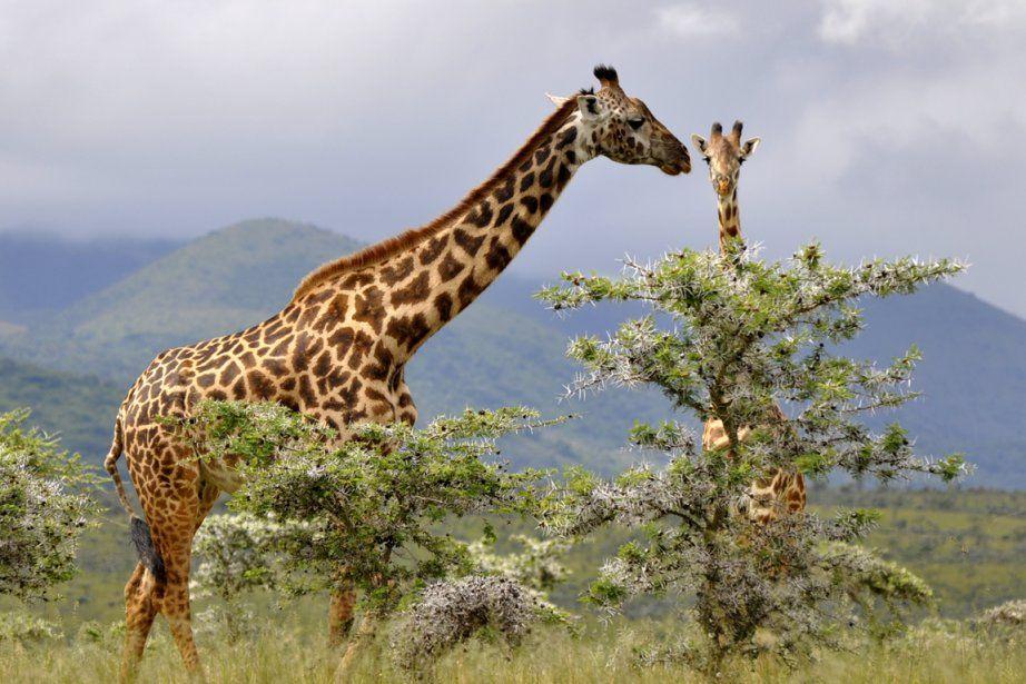 e tous les pays d'Afrique, le Kenya est celui qui offre, avec la Tanzanie, les plus beaux safaris. Récit d'un séjour digne d'un film, entre nature sauvage et luxe délicieusement surranné.