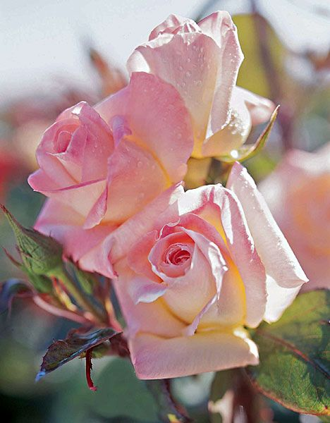 How to Propagate Roses From Cuttings