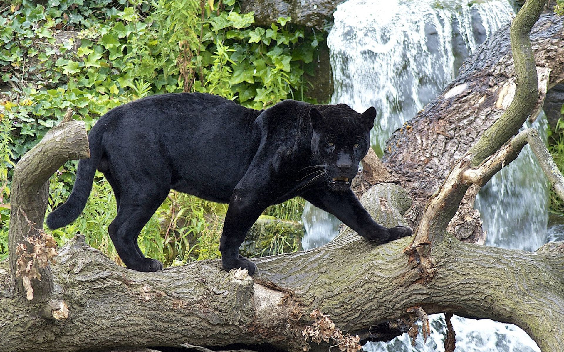 pools-topless-pictures-of-black-panther-leaping-girl-sleep