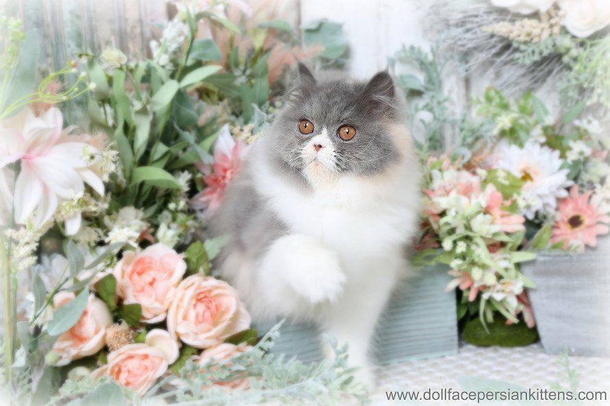 Kendra Click Here Persian kittens for sale, Teacup