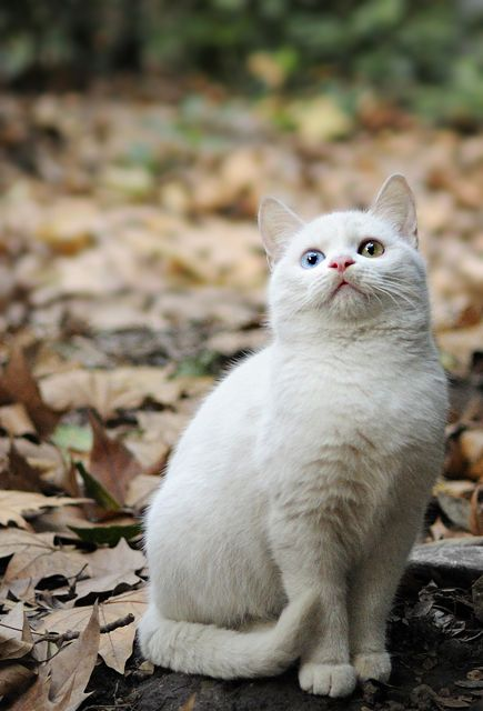 White Cat With A Blue Eye And Gold Eye Cats Pretty Cats Cute