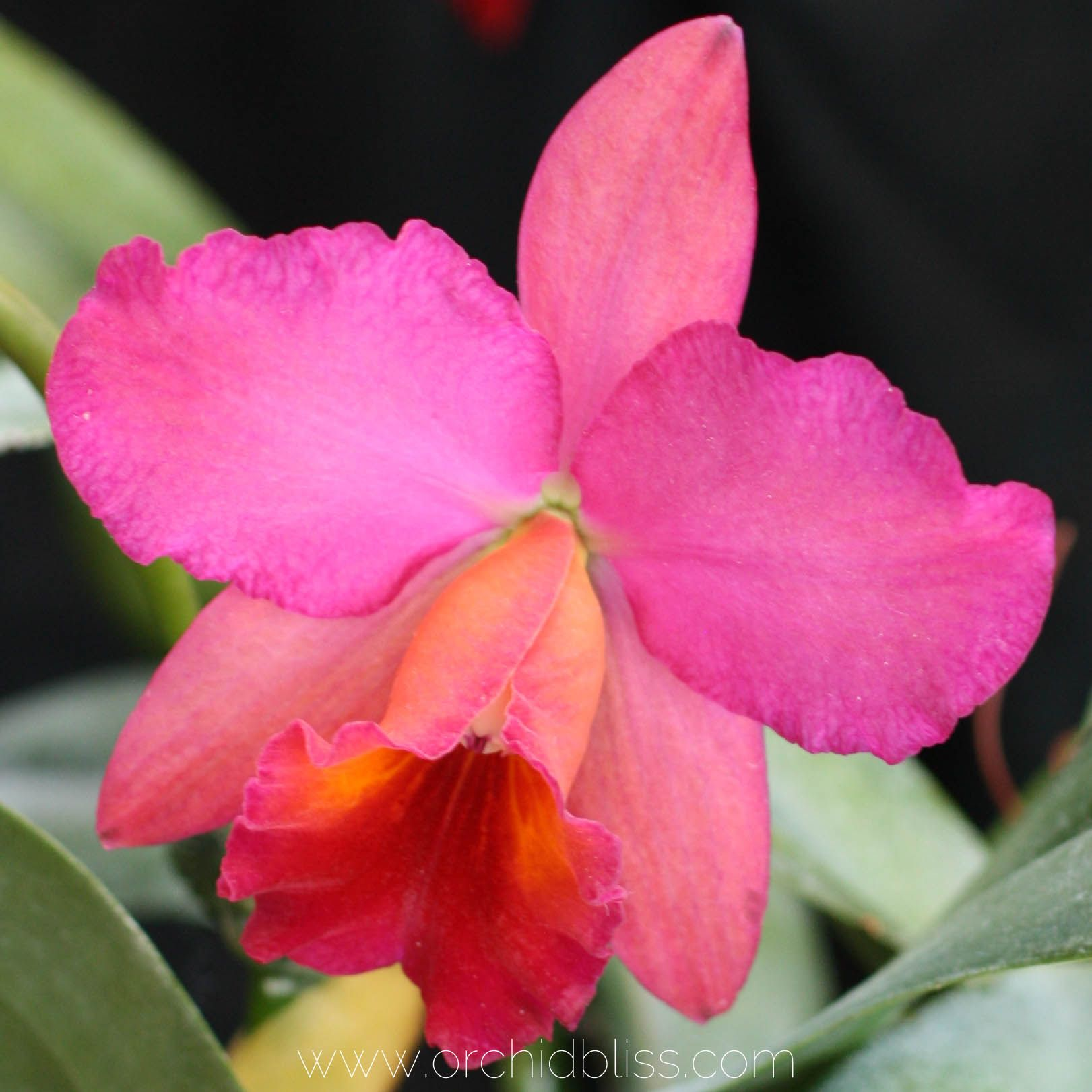 How to understand those curious orchid roots cattleya orchid