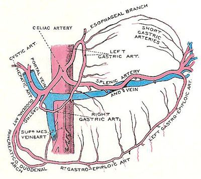 Celiac Artery And Its Branches Ultrasound Pinte