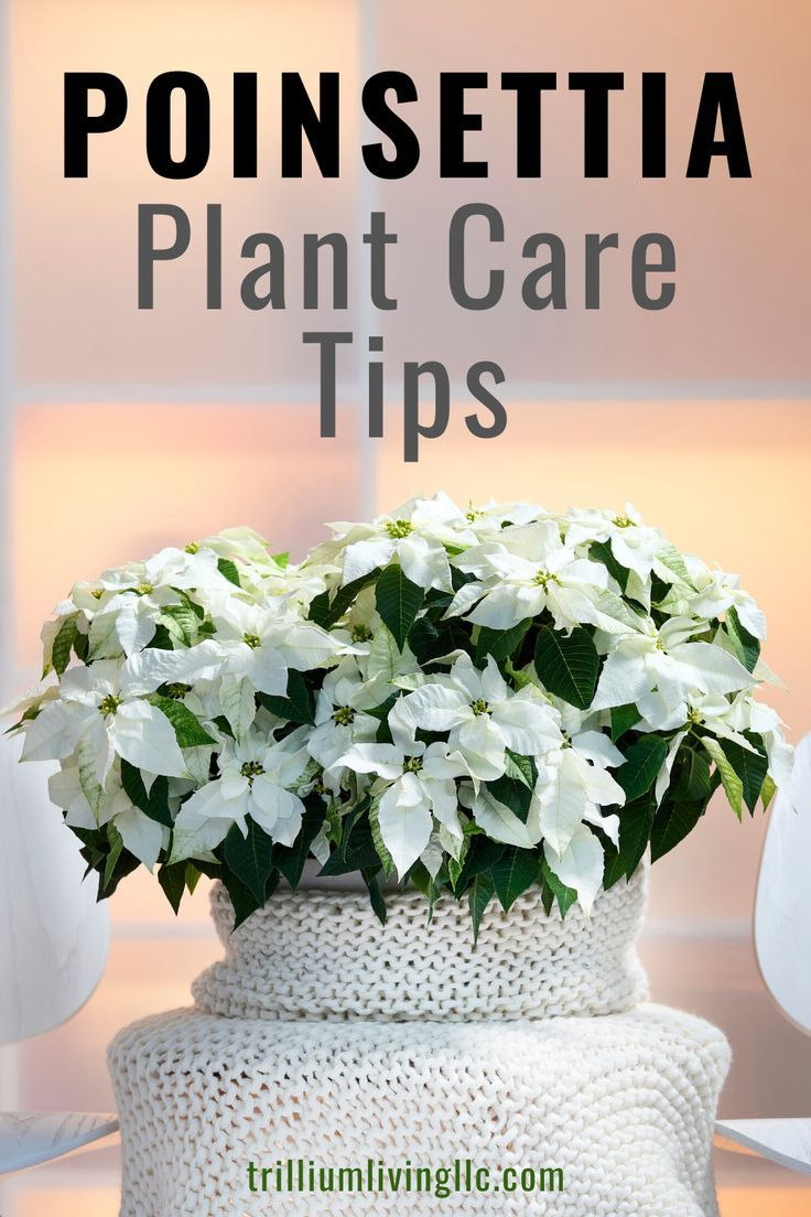 Poinsettia Plant Care Tips is part of Poinsettia plant, Plant care, House plant care, Diy container gardening, Container garden design, Plants - This article contains affiliate links for advertisers of this site  See disclosure page for more information  Poinsettia plant care is easy with the knowledge of a few helpful tips  These can be quite helpful since Poinsettias are an iconic symbol of the holiday season  Ironically, they are a tropical plant, so for those of us     Read more Poinsettia Plant Care Tips