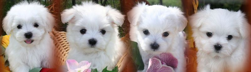 Puppies For Sale Akc Maltese Puppies For Sale In Illinois