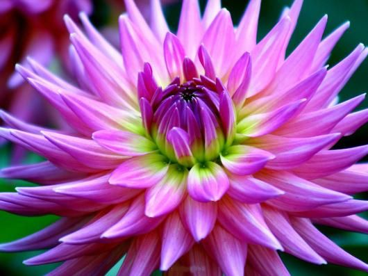 Beautiful Flowers Names Dahlia Other Name