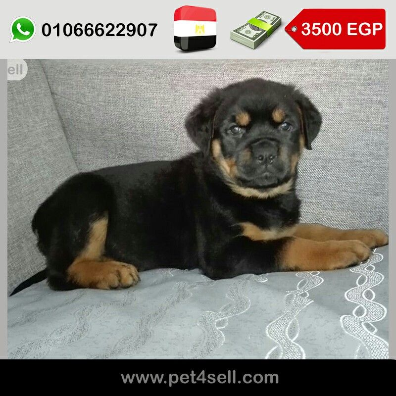 Egypt Cairo Best Rottweiler Puppies Pure Bloodline 55