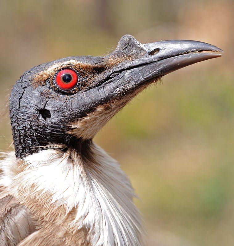 friarbird Google Search Beautiful birds, Animals