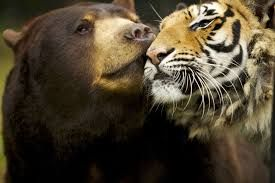 Animal Odd Couples: A Bear, a Tiger and a Lion.